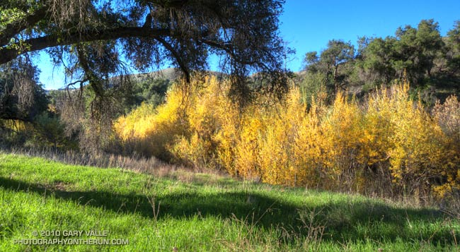 Willows along Las Virgenes Creek.