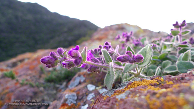 Wishbone bush (Mirabilis californica)