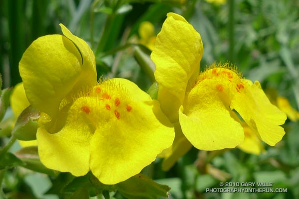 Yellow monkeyflower (Mimulus guttatus)