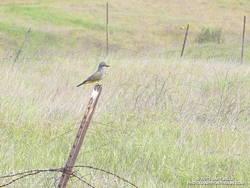 Cassin's kingbird on Lasky Mesa in Upper Las Virgenes Canyon Open Space Preserve (Ahmanson Ranch)