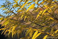 Turning leaves of a willow in East Las Virgenes Canyon. December 28, 2017.